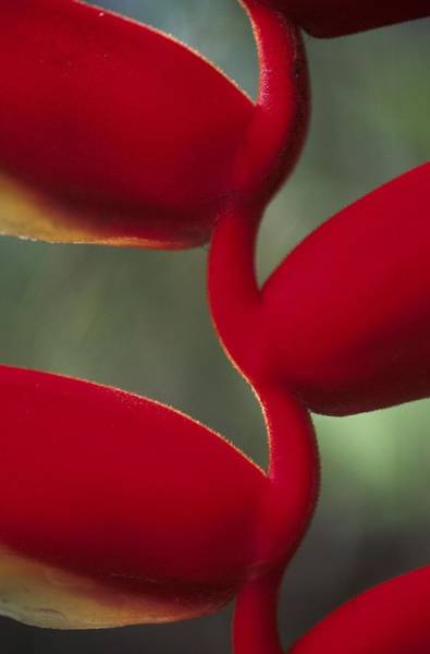 Photograph - Detail Of The Heliconia Flower In by Veronique Durruty
