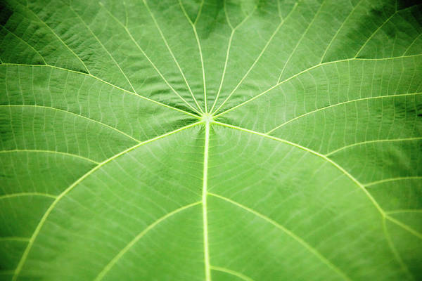 Wall Art - Photograph - Detail Of Tropical Plant Leaf by Keiji Iwai