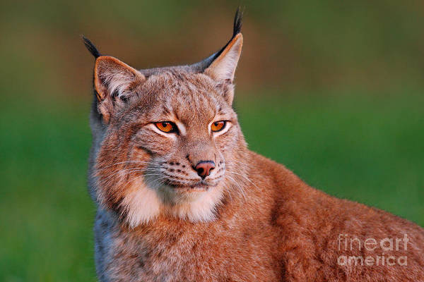 Bobcat Wall Art - Photograph - Detail Portrait Of Lynx, With Beautiful by Ondrej Prosicky