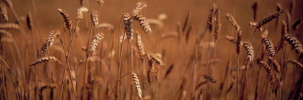 Wall Art - Photograph - Detail Wheat by Panoramic Images