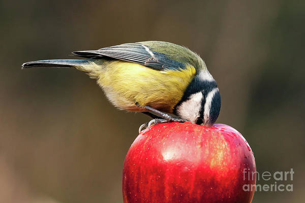 Wall Art - Photograph - Detailed Blue Tit With Beak Inside A Red Apple by Simon Bratt Photography LRPS