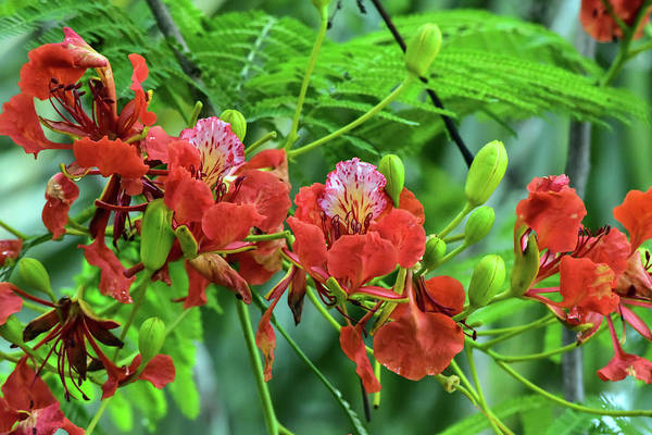 Wall Art - Photograph - Details Of Royal Poinciana Flowers by William Tasker