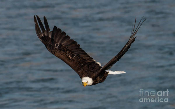 Wingspan Photograph - Determination by Mike Dawson
