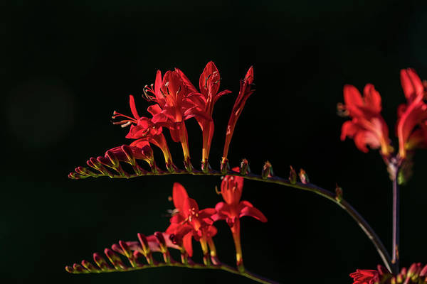 Photograph - Devil Flower In The Shadow by Robert Potts