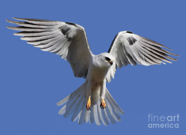 White-tailed Kite Photograph - Devoted by Cheryl Gidding