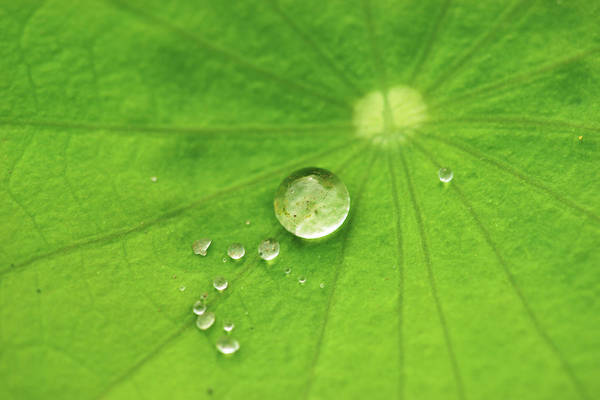 Wall Art - Photograph - Dew Drops On Lotus Leaf by Copyright By Patricklee