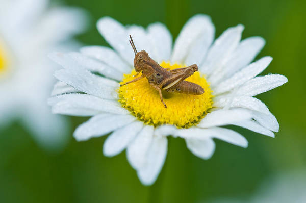 Wall Art - Photograph - Dewy Grasshopper by Michael Lustbader