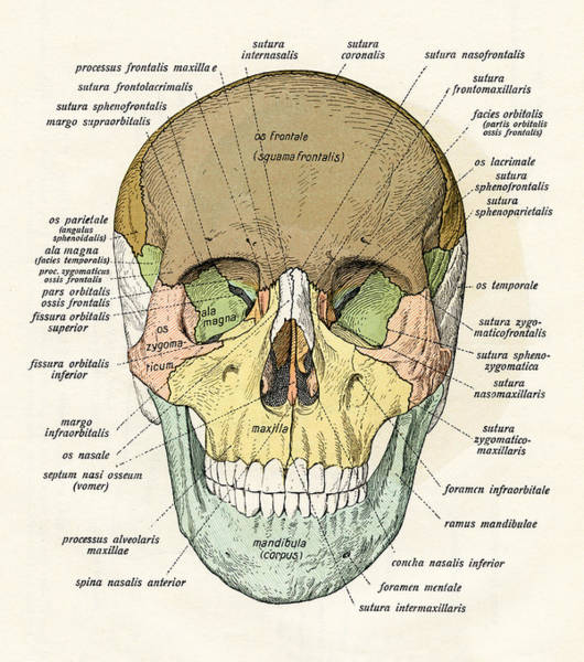 Description Digital Art - Diagram Of Human Skull by Graphicaartis