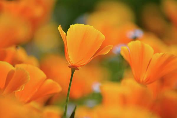 Photograph - Diamond Valley California Poppy by Kyle Hanson