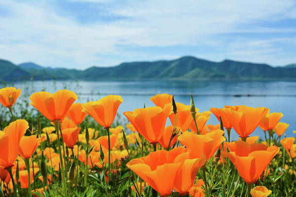 Photograph - Diamond Valley Lake Poppies by Kyle Hanson