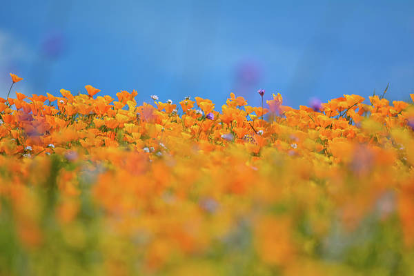 Photograph - Diamond Valley Poppies by Kyle Hanson