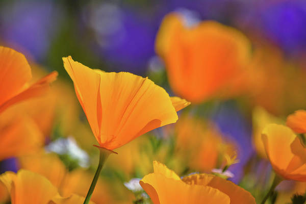 Photograph - Diamond Valley Poppy by Kyle Hanson