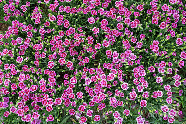Wall Art - Photograph - Dianthus Pink Kisses Pattern by Tim Gainey