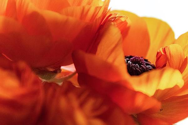 Photograph - Diaphanous Petals by Terri Hart-Ellis