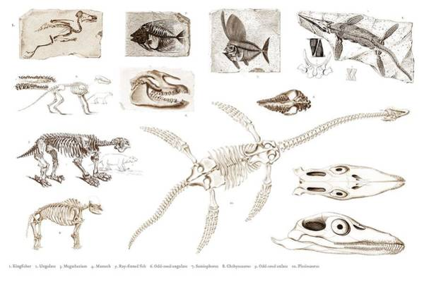 African Penguin Painting - Different Types Of Ancient Fossils Illustrated By Charles Dessalines D' Orbigny  1806-1876 3 by Celestial Images
