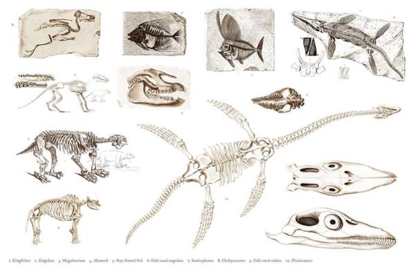 African Penguin Painting - Different Types Of Ancient Fossils Illustrated By Charles Dessalines D' Orbigny  1806-1876  by Celestial Images