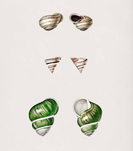 Wall Art - Painting - Different Types Of Mollusks Illustrated By Charles Dessalines D' Orbigny 1806-1876 by Charles Dessalines D Orbigny
