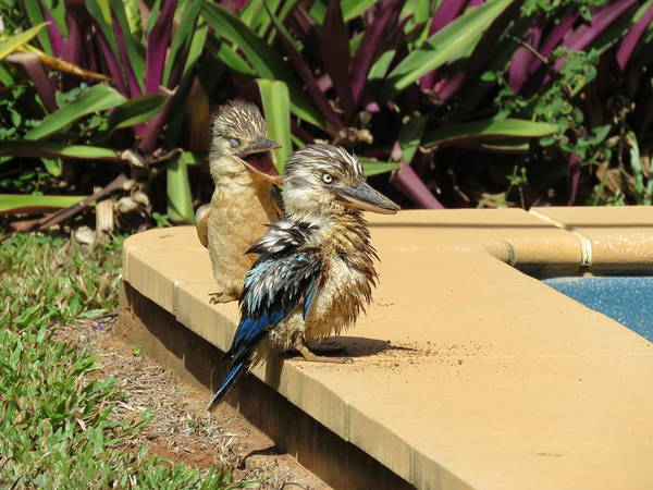 Photograph - Digging Kookaburra 2 by Joan Stratton