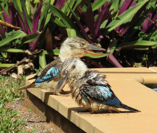 Photograph - Digging Kookaburra 3 by Joan Stratton