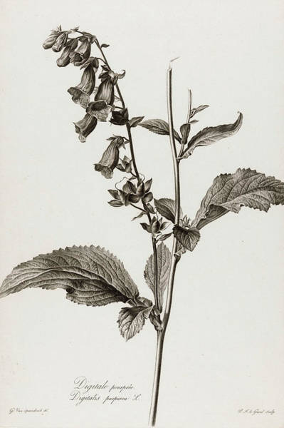 Wall Art - Painting - Digitalis Purpurea by Pierre Francois Legrand