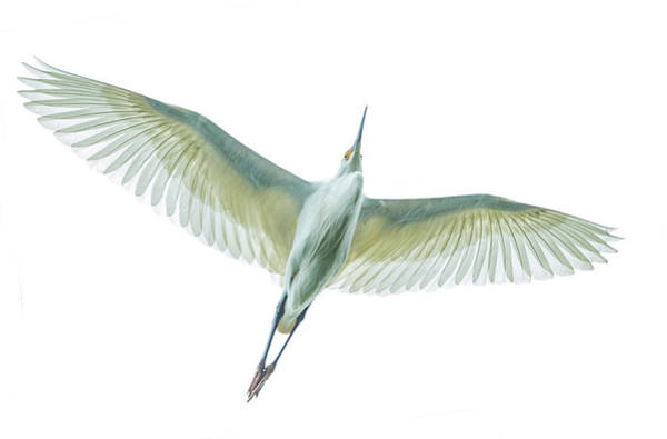 Wall Art - Photograph - Dimorphic Egret Egretta Dimorpha by Panoramic Images