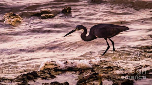 Photograph - Dimorphic Heron Fishing, Zanzibar by Lyl Dil Creations