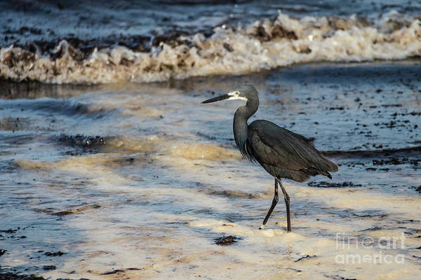 Photograph - Dimorphic Heron, Zanzibar by Lyl Dil Creations