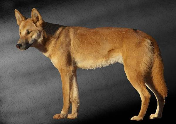 Drawing - Dingo by Joan Stratton