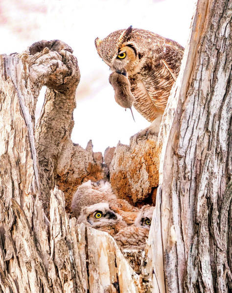 Photograph - Dinner For The Great Horned Owl Family by Judi Dressler