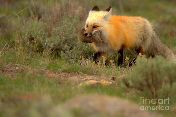 Photograph - Dinner For The Red Fox by Adam Jewell