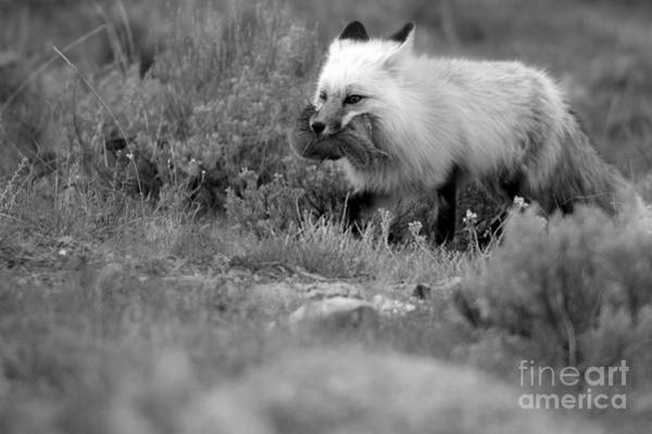 Photograph - Dinner For The Red Fox Black And White by Adam Jewell