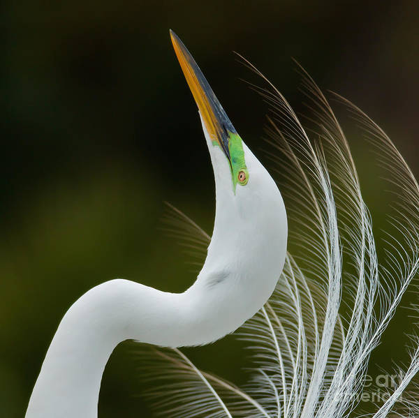 Displaying Great Egret, Kissimmee Art Print