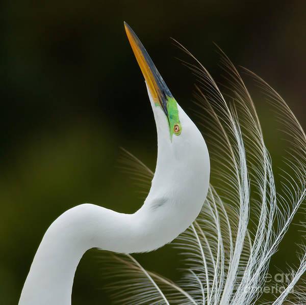 Florida Wall Art - Photograph - Displaying Great Egret, Kissimmee by Matt  Elliott