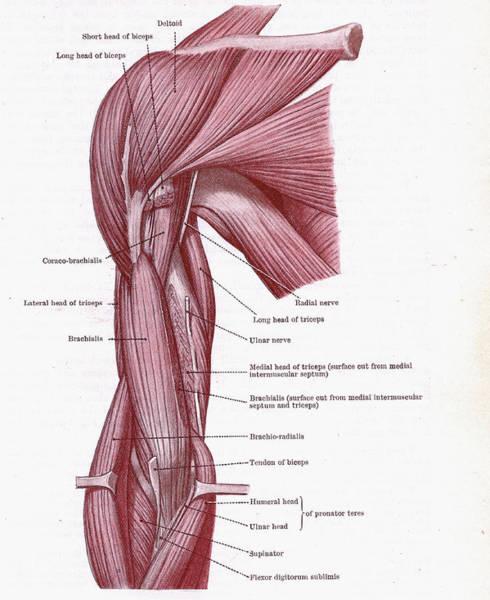 Photograph - Dissection Of Muscles by Steve Estvanik