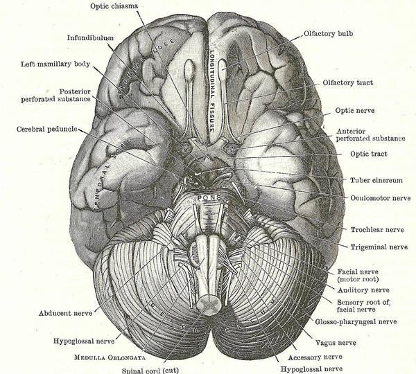 Photograph - Dissection Of The Human Brain by Steve Estvanik