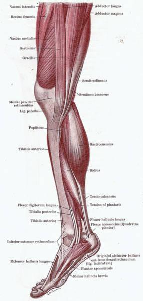 Photograph - Dissection Of The Leg by Steve Estvanik