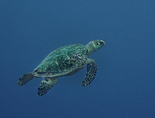 Photograph - Distant Hawksbill by Jean Noren