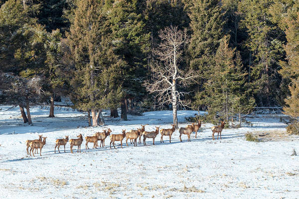 Photograph - Distant Winter Elk Herd by Steve Krull