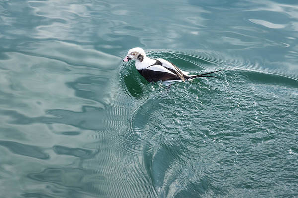 Photograph - Disturbing The Silk - Long Tailed Duck Emerging From A Dive by Georgia Mizuleva