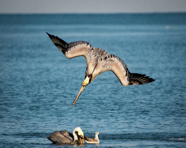 Photograph - Dive Bomber by Jeff Phillippi