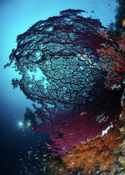 Underwater Photograph - Diver And A Huge Fan In Misol by Torsten Velden