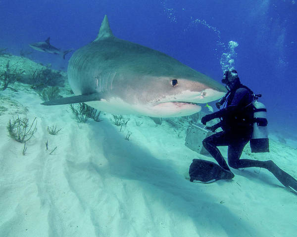 Photograph - Diver And Tiger Shark, Tiger Beach by Brent Barnes