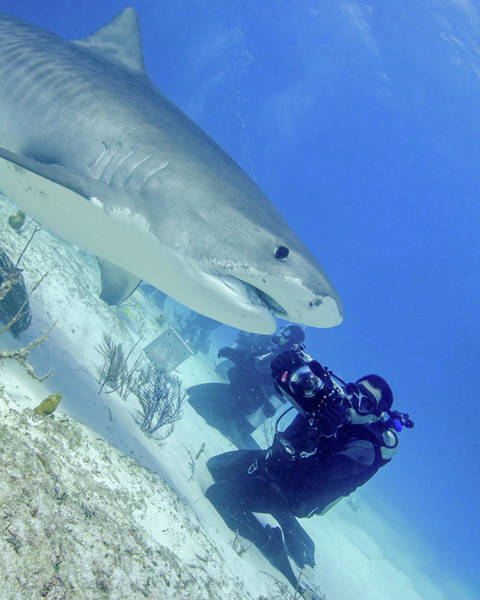 Wall Art - Photograph - Diver Photographing A Tiger Shark by Brent Barnes
