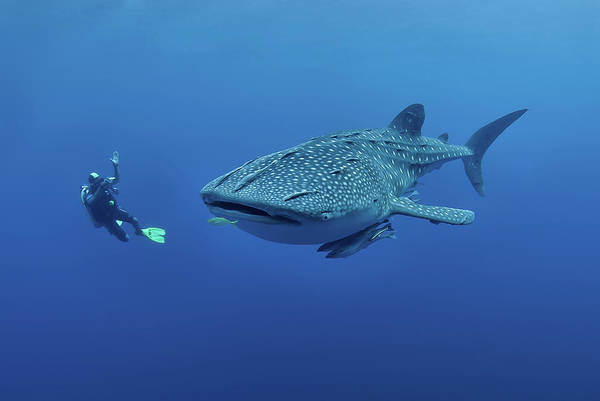 Underwater Camera Photograph - Diver Photographing A Whaleshark by Jones/shimlock-secret Sea Visions