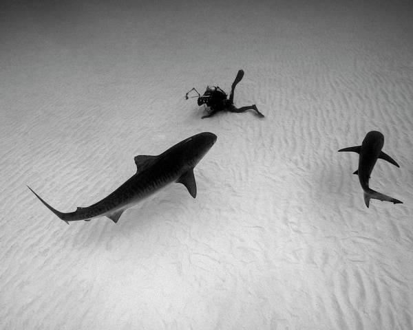 Wall Art - Photograph - Diver Photographs A Tiger Shark by Brent Barnes