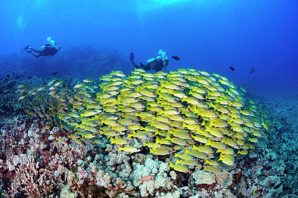 Wall Art - Photograph - Divers And Schooling Bluestripe Snapper by Dave Fleetham