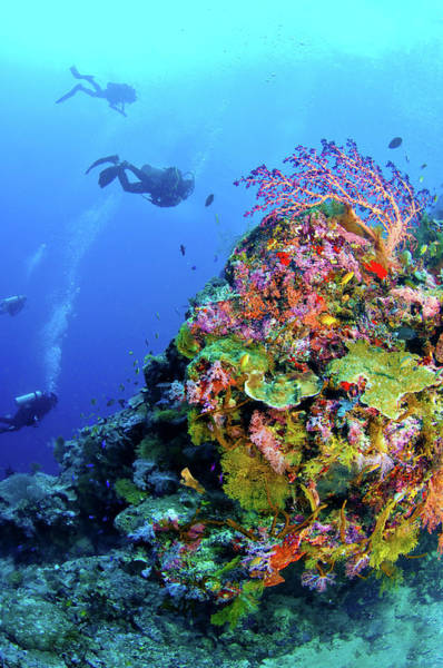 Underwater Photograph - Divers At Coral Dropoff by Auscape/uig
