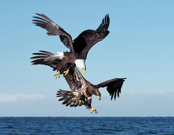 Photograph - Diving Duo by Scott Bourne