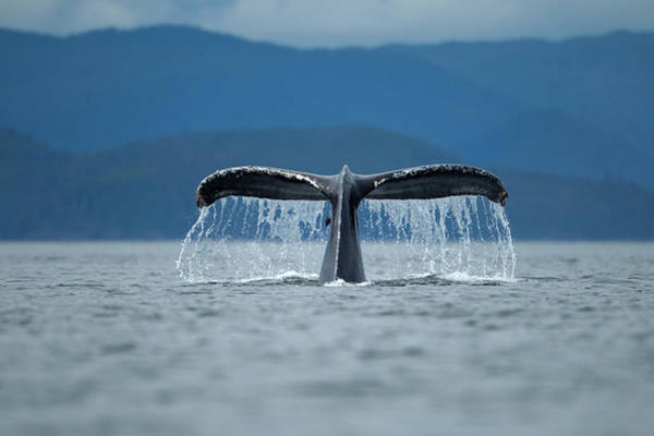 Mammal Photograph - Diving Humpback Whale, Alaska by Paul Souders