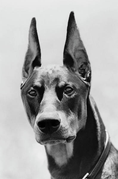 Doberman Wall Art - Photograph - Doberman Pinscher by George Jones